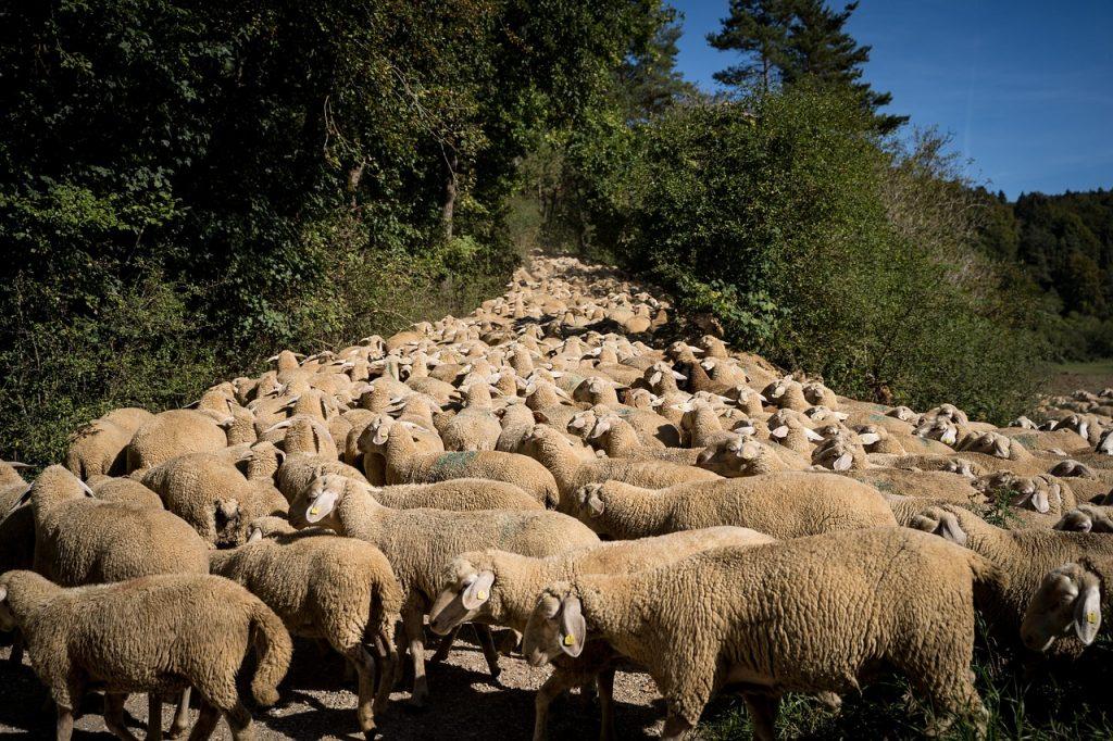 eigen visie  85 kudde schapen