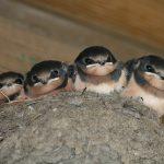 Veranderen 86 4 jonge zwaluwen in nest