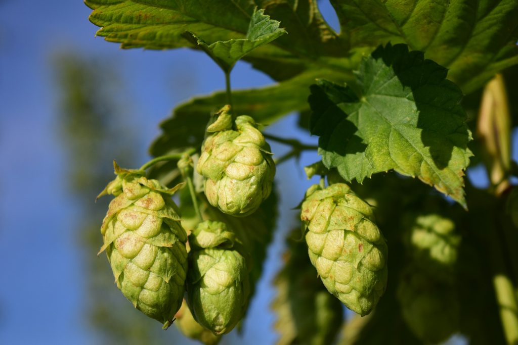 Alcohol  hopplant